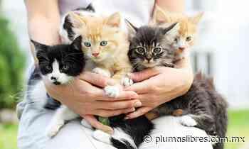 Realizarán pasarela de gatitos en albergue La Roca de Veracruz, adopte uno - plumas libres