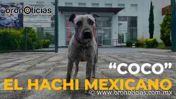 """Reportaje: Él es """"Coco"""" el Hachi mexicano » Oronoticias - Oronoticias"""