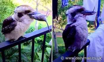 Impressive moment a kookaburra nicknamed Scruff swallows a dead rat whole