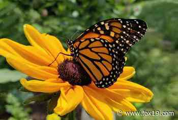 Grab your wings and join the Cincinnati Zoo's Monarch Festival - WXIX