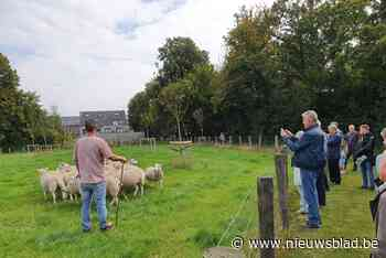 """Schapenkudde is dé nieuwste attractie van gemeentepark: """"Ouderen en kinderen komen vaak kijken hoe mijn schapen het gras kortwieken"""""""