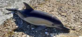 Ya son 17 los delfines muertos en el Puerto San Antonio Este: los atacó una familia de orcas - Diario Río Negro