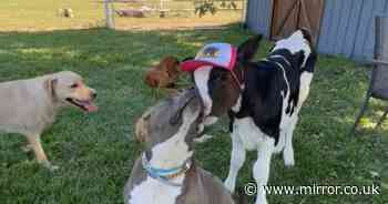 Staffy nearly put down with five puppies now lives with best friend - a baby cow