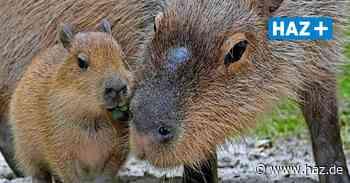 Zoo freut sich über Nachwuchs bei Wasserschweinen