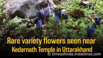 Rare variety flowers seen near Kedarnath Temple in Uttarakhand