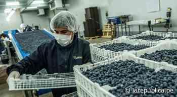 La Libertad: primera región productora de arándanos inició campaña de exportación - La República Perú