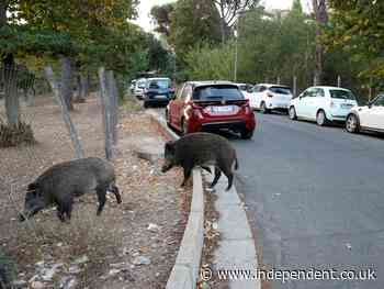 'Uncontrolled' wild boar on streets of Rome becomes campaign issue in mayoral election