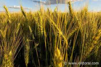 El trigo volvió a subir en Rosario y alcanzó los US$ 240 - El Litoral