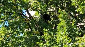 Police called after black bear climbs tree near Thunder Bay's south core - CBC.ca