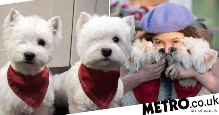 Rescued Westie twins live best life despite having just two eyes between them