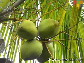 Incluirán la siembra de coco en el programa Sembrando Vida - MÁSNOTICIAS