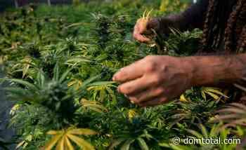 ONG no Rio de Janeiro luta pelo direito de cultivar cannabis medicinal no país - Dom Total