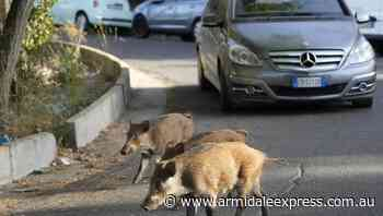 Romans say 'basta!' to invading wild boars - Armidale Express