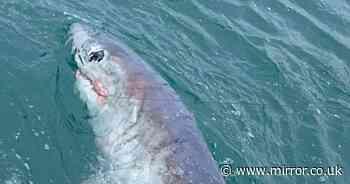 Fisherman catches record-breaking 7ft 'monster' shark off coast of Devon