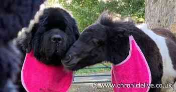 Newfoundland puppy forms unlikely friendship with Shetland pony - and they regularly give each other kisses
