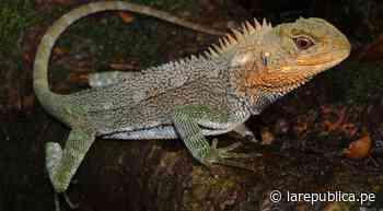 Descubren nueva especie de lagartija en el Parque Nacional Tingo María - La República Perú