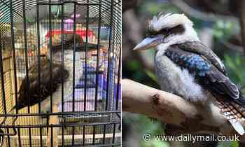 Aussies left disgusted after expat spots a caged kookaburra for sale in a New York pet store