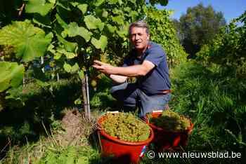 Druivenoogst gestart bij bekroonde Gentse wijnbouwer Lodewij... (Gent) - Het Nieuwsblad
