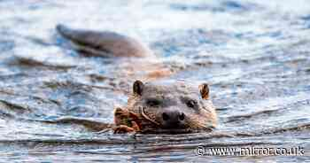 Conservation success as otters brought back from brink of extinction