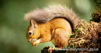 The best places in Scotland to see elusive Red Squirrels - Daily Record