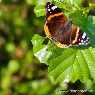 Hoe vlinders zich aanpassen aan de stad: 'Talloze soorten kunnen zich succesvol aanpassen'