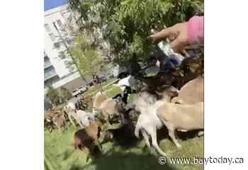 Goats get loose in Atlanta's tony Buckhead neighborhood