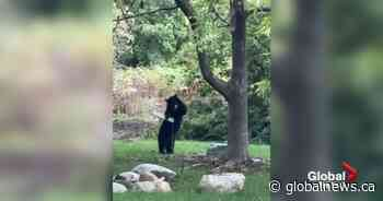 Caught on camera: B.C. bear just wants to be a big kid on a swing
