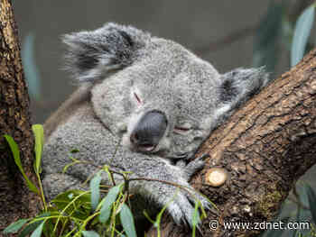 South Australia uses facial recognition drones to help save koalas