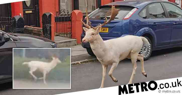 Sniper shoots white stag dead after it started running through town