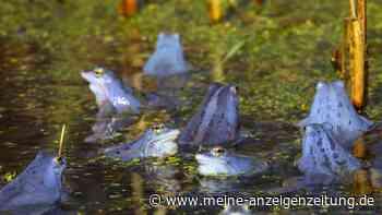 Moorfrosch: Deswegen färbt sich das Tier manchmal knallblau