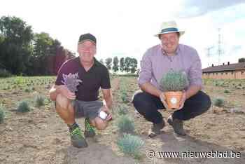 """Tom en Bart willen een beetje Provence naar ons land brengen met het grootste lavendelveld van Vlaanderen: """"En we willen nog uitbreiden"""""""