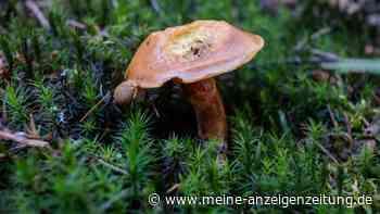 Pilze sammeln: Bundesamt warnt jetzt vor radioaktiven verseuchten Pilzen