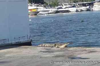 Alertan sobre presencia de cocodrilos en Higuerote y Río Chico - La Prensa de Lara