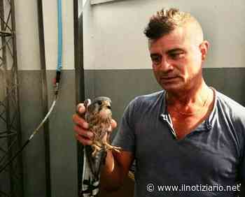 Novate Milanese, gheppio bloccato in un capannone, liberato dalla Polizia provinciale | VIDEO - Il Notiziario