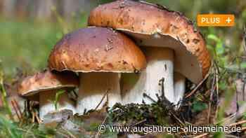 Ein Fachmann zeigt, worauf es beim Sammeln von Pilzen im Wald ankommt - Augsburger Allgemeine
