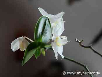 Phalaenopsis Kindel - Krumbach - myheimat.de