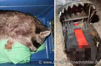 Tierquäler in Affalterbach - Waschbär in Falle qualvoll verendet – Peta setzt Belohnung aus - Stuttgarter Nachrichten