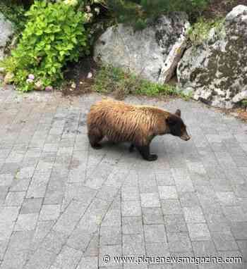 Whistler woman fined $60K for feeding bears believed she was helping animals - Pique Newsmagazine