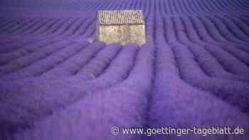 Die Provence in Aufruhr: Eine Region kämpft für ihre Lavendelfelder