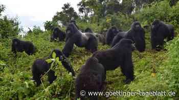 Forscherinnen untersuchen Gorillas: Macht der Mensch die Affen krank?
