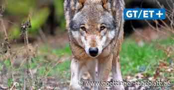 Umweltministerium: Keine Hinweise auf Wölfe im Hermann-Löns-Park