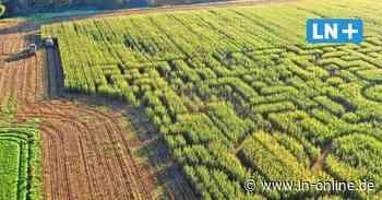 Maislabyrinth in Ahrensburg wurde abgeerntet - Lübecker Nachrichten