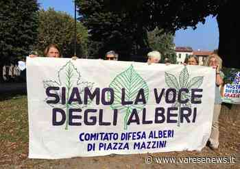 """""""Gli alberi della piazza di Tradate sono sani"""": venerdì sera incontro sulla perizia dell'agronomo Zanzi - varesenews.it"""
