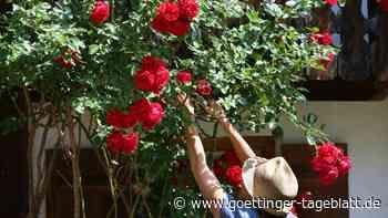 Gärtnern im Herbst: Was Sie bei der richtigen Rosenpflege beachten sollten