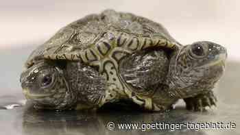 Sensation in den USA: Schildkröte mit zwei Köpfen und sechs Beinen geschlüpft