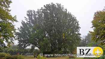 Alte Eichen auf dem Essenroder Friedhof bleiben erhalten
