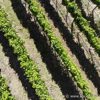 Queensland's self-guided wine trail - Nightlife - ABC Radio - ABC News