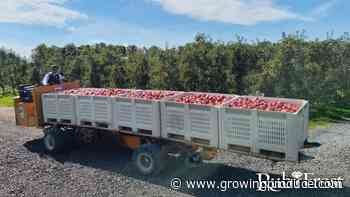 Harvest Update: 'RubyFrost' Apples Return with New Look