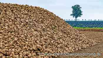Fehlende Sonne: Zuckerrüben in diesem Jahr weniger süß