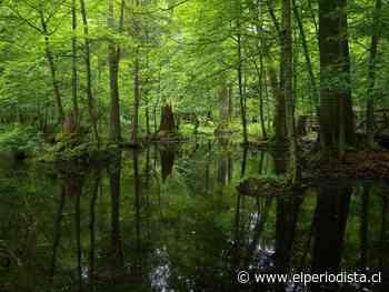 Denuncian tala del último bosque virgen de Europa - El Periodista